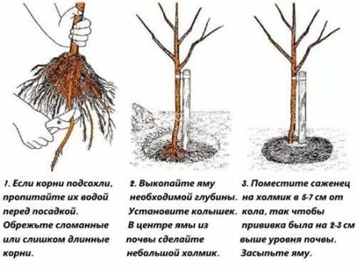 Посадка груши: технология, секреты, подготовка