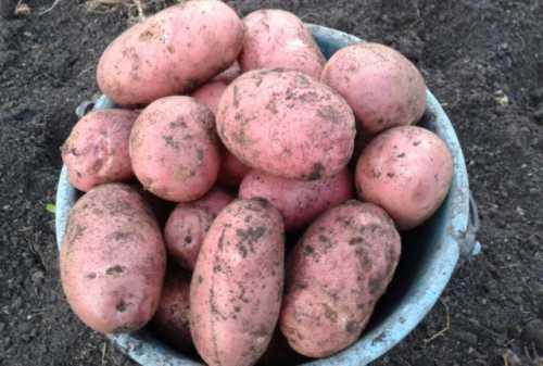 Особенности белорусских сортов картофеля:  фото,