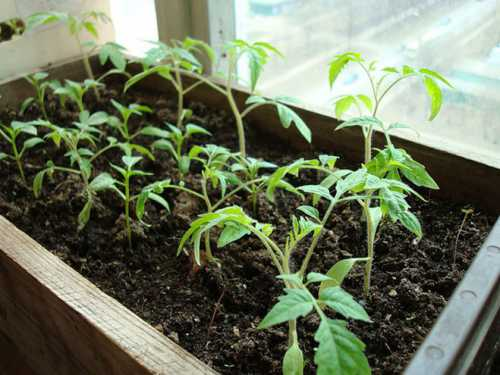 Лишняя вода стекает, не нанося вред рассаде помидор