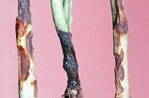 Рассада помидоров вянет, скручиваются листья: