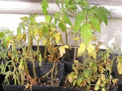 Четвертой причиной того, почему падает рассада помидор, вянут листья у рассады помидор, является нехватка света