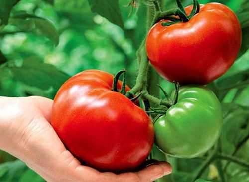 Чем подкормить томаты после посадки в теплицу