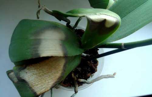Орхидея засохла, почему, что делать, выясняем