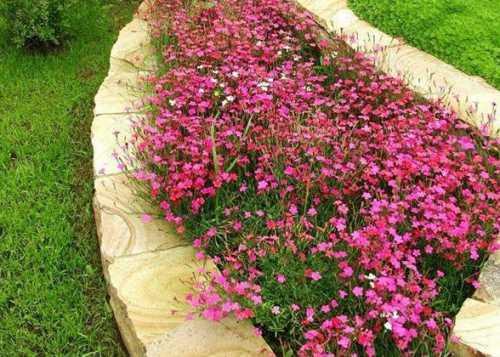 Вербена в вашем саду