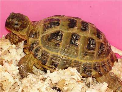 Еще один способ определить пол сухопутной черепахи, это осмотр ее панциря пластрона