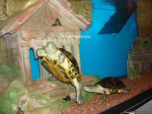 Другой вариант событий, это когда черепашка не умирает в детстве а это вероятность, а вырастает через несколько лет в см животное, которое почемуто перестало быть карликовым и помещаться в пластиковый аквариум